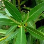 Random image: Олеандър - Nerium oleander L.-лист