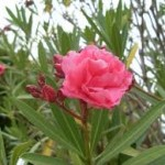 Олеандър - Nerium oleander L.-цвят