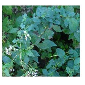 Билка Бял риган – Origanum Heracleoticum L