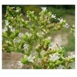 Бял риган – Origanum Heracleoticum L.-плод