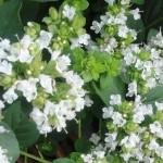 Бял риган – Origanum Heracleoticum L.- цвят