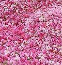 Random image: Казанлъшка маслодайна роза - Rosa damascena-подготовка за преработка