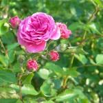 Казанлъшка маслодайна роза - Rosa damascena-стебло