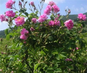 Казанлъшка маслодайна роза - Rosa damascena-храст