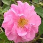 Казанлъшка маслодайна роза - Rosa damascena-цвят