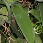 Random image: Ванилия - Vanilla-лист