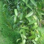 Random image: Ванилия - Vanilla-стебло