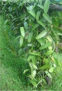 Ванилия - Vanilla-стебло