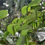 Черен пипер - Piper nigrum - билка