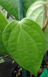 Черен пипер - Piper nigrum - лист