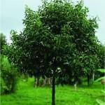 Индийско орехче - Myristica fragrans - дърво