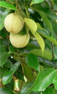 Индийско орехче - Myristica fragrans - лист