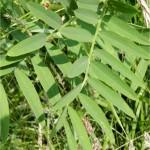 Лечебен жаблек - Galega officinalis L.- лист