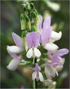 Лечебен жаблек  - Galega officinalis L.- цвят