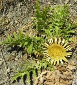 Решетка - Carlina acanthifolia - стебло