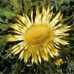 Решетка - Carlina acanthifolia - цвят