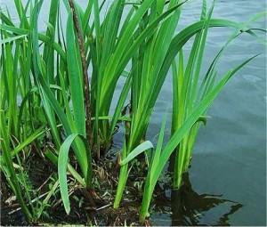 Билка - Блатен аир – Acorus calamus L