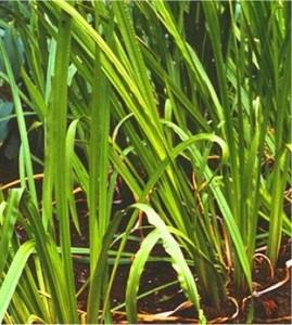 Блатен аир – Acorus calamus L - листа