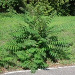 Айлант - Ailanthus altissima - Билка