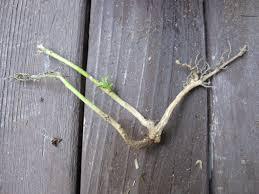 Айлант - Ailanthus altissima - Корен