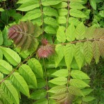 Айлант - Ailanthus altissima - Листа