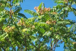 Айлант - Ailanthus altissima - Цвят