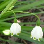 бикновено блатно кокиче - Leucojum aestivum L. - Цвят