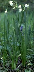 Обикновено блатно кокиче - Leucojum aestivum L. - стебло