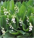 Момина сълза - Convallaria majalis - билка