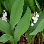 Random image: Момина сълза - Convallaria majalis - лист