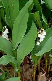 Момина сълза - Convallaria majalis - лист