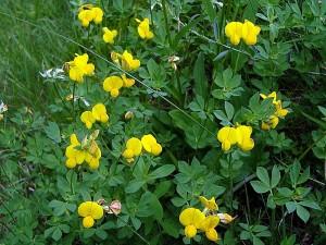Обикновен звездан Lotus corniculatus L. - билка