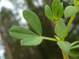 Обикновен звездан Lotus corniculatus L. - лист