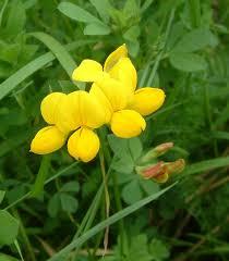 Обикновен звездан Lotus corniculatus L. - цвят